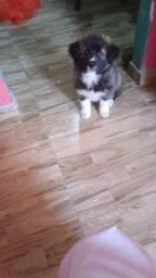Lindo filhote de Husky Siberiano