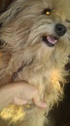 Título do anúncio: Vendo um cachorro poodle com splitz alemão.. interessado *