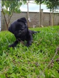 Lindo Pug black e abricot