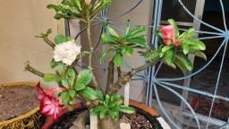 Título do anúncio: Muda de Rosa do Deserto Com 6 Cores na Mesma Muda