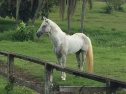 Oferta cavalo de marcha picada, Tordilho po 12 mil