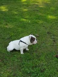 Bulldog Inglês Padreador