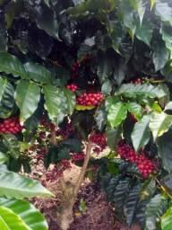 200 Sementes De Café Arábica Catuaí Vermelho