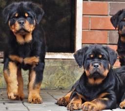 Filhotes machos e fêmeas de Rottweiler à pronta entrega