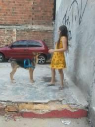 Procura se cachorro pastor alemão