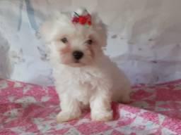 Maltês fêmea é no Da Madre Pet Shop