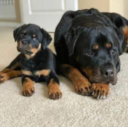 Filhotes de Rottweiler 'a pronta entrega