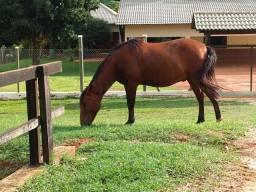 Cavalo castrado top para trabalho!!