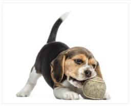 Divertidos sao os Beagle, temos filhotes fêmeas