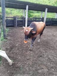 Vacas aceito permuta por algo do meu interesse