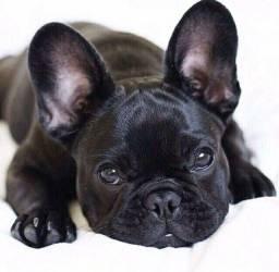 Lindos bulldog francês