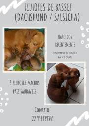 Filhotes de basset/dachshund/ salsicha