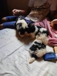 Shih tzu fêmeas 3 filhotes