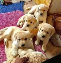 Filhotes de Labrador perfeitos
