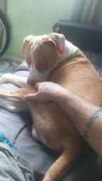 Pitbull para adoção