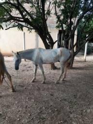 Cavalo marcha picada muito macio