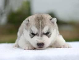 Filhotes de husky siberiano, canil PS