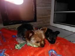 Filhote macho York shire terrier mini