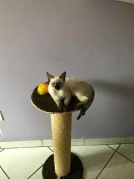 Doa-se linda gatinha siamesa