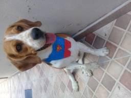 Procuro namorada Beagle