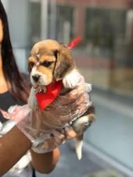 Beagle filhotes no padrão da raça, com pedigree