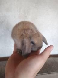 Disponível filhote de mini lop