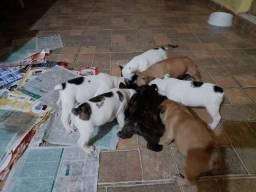 Bulldog Francês com 37 dias vermifugados