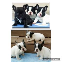 Bulldog lindos