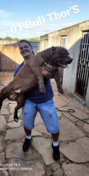 American Pit Bull Terrier ( Pit Monster ou Extreme )