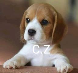 Lindos Filhotes de Beagle - pedigree