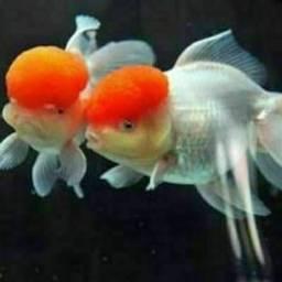 Lindos filhotes de japonês red cap oranda