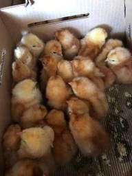 Título do anúncio: Vendo galinhas caipiras ja na postura