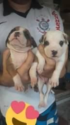 Filhotes American staffordshire terrier com pitbull