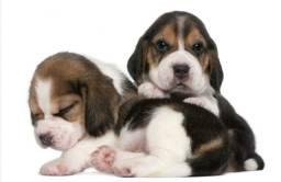Fêmeas de Beagle na MK DR PET confira ja