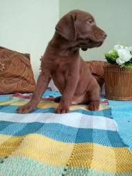 Labrador chocolate filhote Maravilhoso