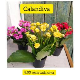 Calandiva