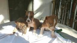Uma linda filhote de pitbull com 2 meses para venda