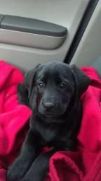 Labrador, macho e fêmea á pronta entrega