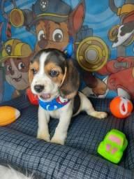 Título do anúncio: beagle disponivel pronta entrega fotos reais
