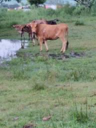 Vaca de 3 anos prenha de touro pampa