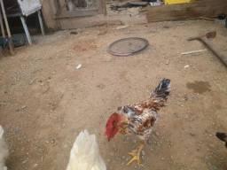 Frango , galo e galinha