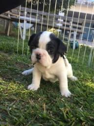 Bulldog Francês- pedigree padrão raça