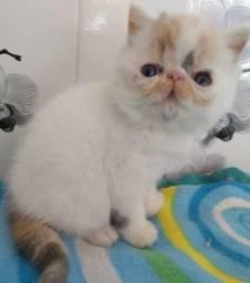 Filhotes de gatos persas exóticos Puros.Parcelo nos cartões.Entrego em Curitiba e região