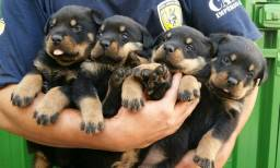 Lindos E Robustos Filhotes De Rottweiler Chame E Confira Canil Império
