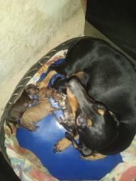 Filhote de cachorro salsicha- Basset/ Dachshund /Cofap /Tekel. Com pedigree- legítimo