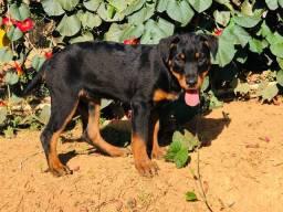 Título do anúncio: Filhote Fêmea de Rottweiler