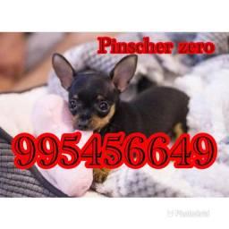 Título do anúncio: Pinscher zero de bolso