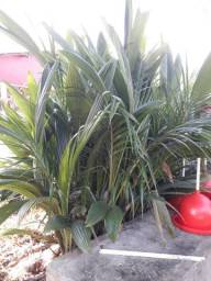 Coco dágua coqueiro anão