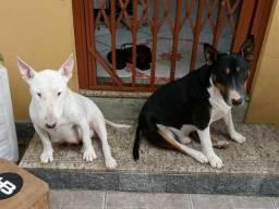 Vendo cão adulto raça Bull Terrier
