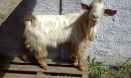 Bode e duas cabra cabrito